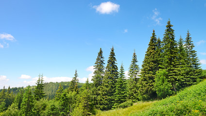 Beautiful pine trees in mountains Wall mural