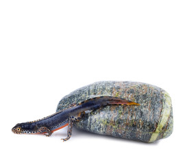 Alpine Newt (Ichthyosaura alpestris)
