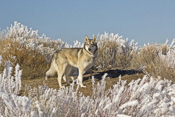 Wolf Dog On Hilltop on Sunny Winter Day
