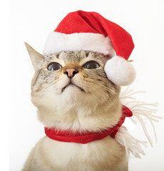 Funny cat in a suit of Santa Claus.