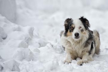 blue eyed dog on the snow background