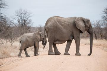 Elephants crossing road in Kruger Park, South Africa