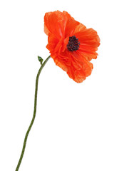 Single poppy isolated on white background.