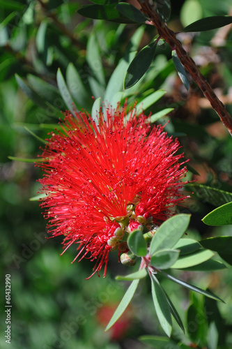 New Zealand Christmas Tree Red Flower Plants Stock Photo And