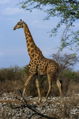 Giraffe, Etosha Nationalpark in Namibia