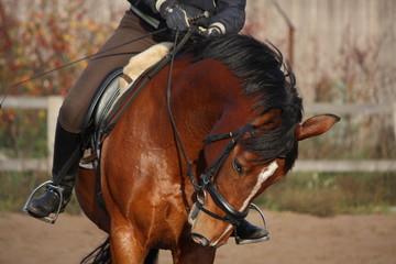 Portrait of brown sport horse