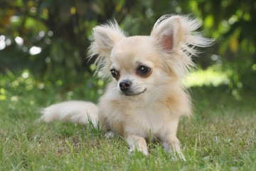 A young longhair chihuahua lying in the grass