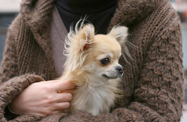 A longhair chihuahua in woman's lap on an autumn day