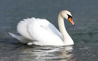 In de dag Zwaan White swan in the water.