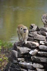 Monkey in Las Terrazas, Cuba