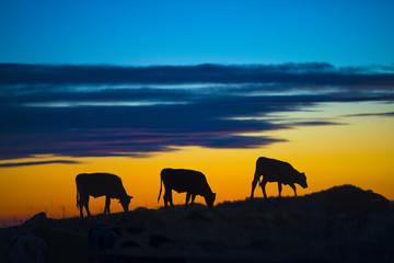 Fototapeta mucche al tramonto obraz