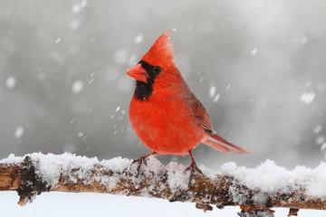 Fotoväggar - Cardinal In Snow