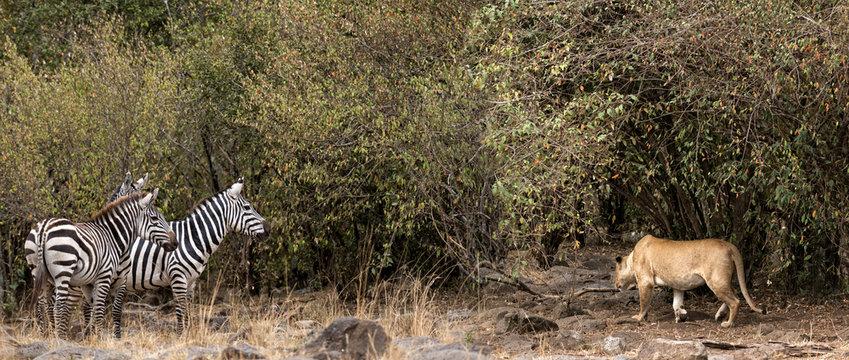 African lioness prey on zebra