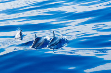 Spinner dolphins off coast of Kauai