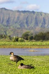 Nene geese in Hanalei Valley on Kauai