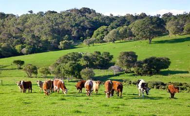 Australian Cattle Wall mural