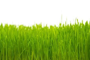 Close-up of a fresh green grass