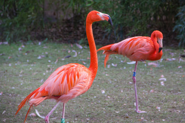 Couple de flamands roses