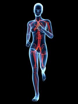 medical illustration - female jogger cardiovascular system
