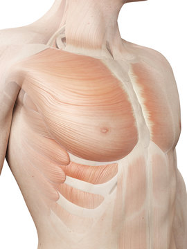 medical 3d illustration - male muscle system - breast muscle