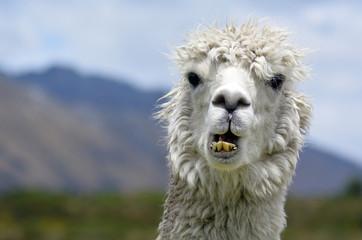 Fototapeten Lama Llama