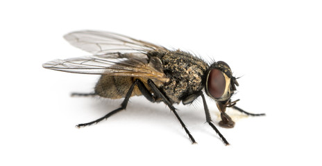 Side view of a dirty Common housefly eating, Musca domestica