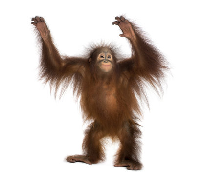 Young Bornean orangutan standing, reaching up, Pongo pygmaeus
