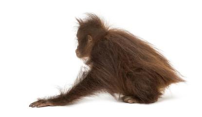 Rear view of a young Bornean orangutan crouching, Pongo pygmaeus