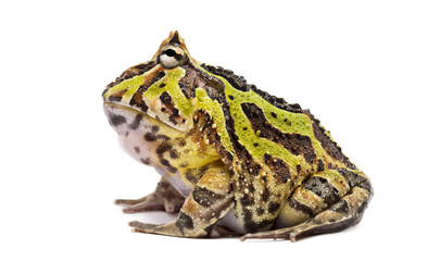 Side view of an Argentine Horned Frog, Ceratophrys ornata