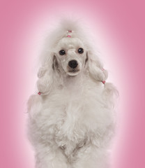 Close-up of a Poodle facing the camera, on a pink background