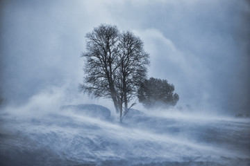 Tree in snow blizzard