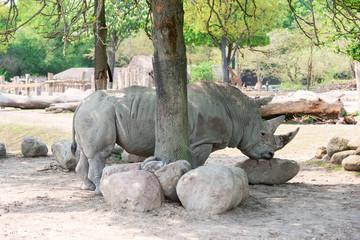 Rhinoceros at zoo horizontal