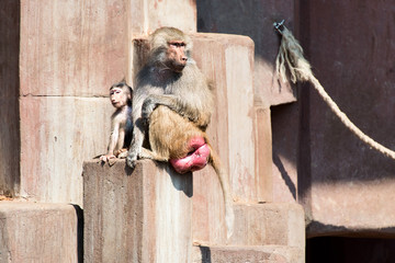 Couple of baboon monkey at Zoo close up