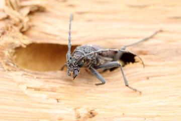 Photos illustrations et vid os de cerambyx cerdo for Insecte du bois capricorne