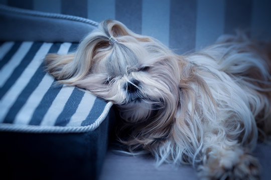 Shih tzu dog sleeping