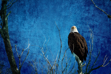 Bald Eagle Blues Into The Night