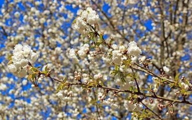 Papiers peints Fleur de cerisier fleurs blanches de cerisiers entremêlées, mois d'avril printemps