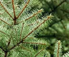 Pine Needles Nature Image