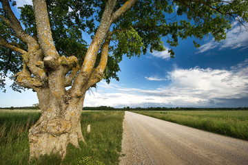 Old elm at gravel road