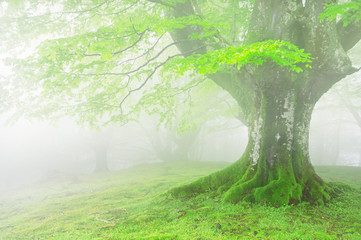 Wall Mural - tree with fog and beautiful light on spring