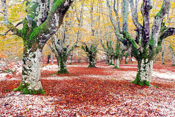 Wall Mural - forest in autumn with snow