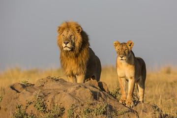 Löwenpaar in Afrika