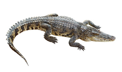 Photo sur Aluminium Crocodile Wildlife crocodile isolated on white with clipping path