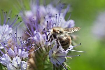 Bee on the phacelia flower