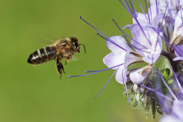 Bee on the phacelia flower