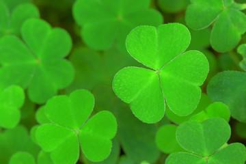 Three-leaved shamrocks.  St.Patrick's day holiday symbol.