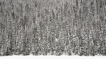 Fototapete - Wall of Trees Covered in Snow