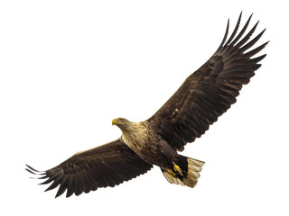 Wall Murals Eagle Huge eagle in flight isolated on white