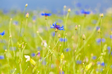 cornflower blue flowers on the field