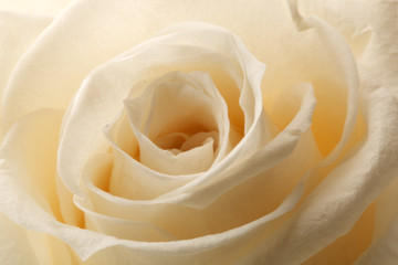beautiful close up rose